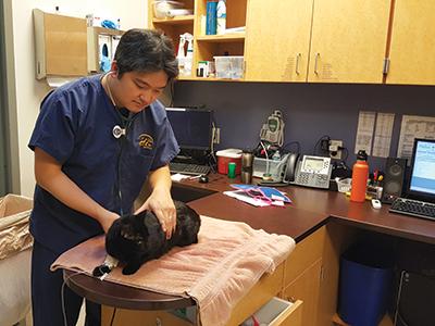 Veterinary nurse Kenichiro Yagi examines a cat at the Adobe Animal Hospital in Los Altos, California. Yagi currently serves as manager of Cornell University's Veterinary Education Simulation Laboratory.